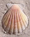 Ab mollusca 40.jpg