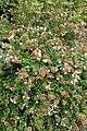 Abelia × grandiflora 'Sherwoodii' kz1.jpg