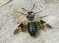 Abia fasciata =Zaraea fasciata (2009-04-27) 03.jpg