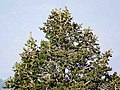 Abies pindrow India22.jpg