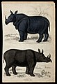 Above, an indian rhinoceros; below, a two-horned rhinoceros. Wellcome V0020926EL.jpg