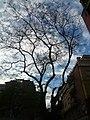 Acàcia del Japó del carrer del Mas Duran P1500893.jpg