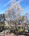 Acacia pendula, habit.jpg