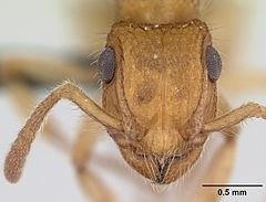 Acanthoponera minor casent0039772 head 1.jpg