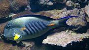 Acanthurus sohal 2