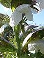 Acanthus hungaticus (Acanthaceae) flower.JPG