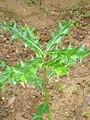 Acanthus ilicifolius 1.jpg