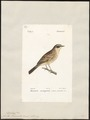 Accentor temminckii - 1842-1848 - Print - Iconographia Zoologica - Special Collections University of Amsterdam - UBA01 IZ16200390.tif