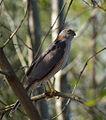 Accipiter cirrocephalus -Brisbane, Queensland, Australia-8.jpg
