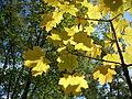 Acer autumn.JPG