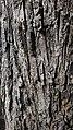 Acer campestre bark 2.jpg
