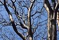 Acer griseum 8zz.jpg