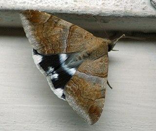 <i>Achaea janata</i> Species of moth