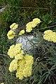 Achilea sp. Asteraceae 10.jpg