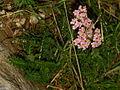Achillea millefiolium sp6.JPG