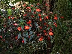 Achimenes erecta flores et folia.jpg