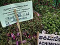 Achimenes from Lalbagh flower show Aug 2013 8046.JPG