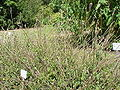 Achyranthes aspera2.jpg