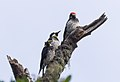 Acorn woodpeckers on Angel Island (40096).jpg