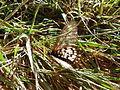 Acraea andromacha (5587456168).jpg
