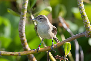 Nihoa millerbird - A millerbird wearing coloured leg bands shortly after translocation from Nihoa to Laysan