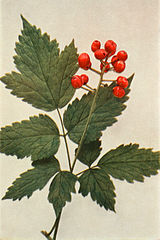 Actaea rubra fruit WFNY-062.jpg