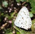Acytolepis puspa - Common Hedge Blue 03.JPG