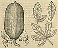 Adansonia digitata-Frucht und Blatt-Clusius-1605.jpg
