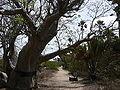 Adansonia digitata 0005.jpg