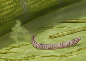 Lepospondyli - Adelospondylus, an adelospondyl