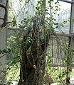 Adenia fruticosa - Palmengarten Frankfurt.jpg