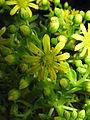 Aeonium arboreum5.jpg