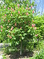 Aesculus × carnea 2009-05-24.JPG