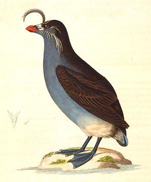 Crested auklet - 1838 illustration of an adult