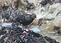 African Oystercatcher or African Black Oystercatcher, Haematopus moquini (13171255735).jpg
