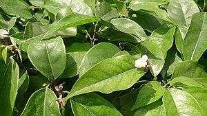 Baphia nitida - Image: African sandalwood (Baphia nitida)