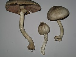 Agaricus placomyces.jpg