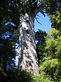 Agathis australis Tane Mahuta1.jpg