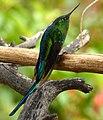 Aglaiocercus kingi (Silfo coliverde) (14643747942).jpg