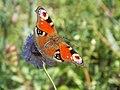 Aglais io - Wzwz butterfly g1.jpg