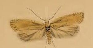 Agonopterix assimilella - Image: Agonopterix assimilella