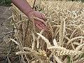 Agriculture in Volgograd Oblast 006.jpg
