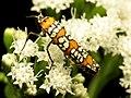 Ailanthus Webworm Moth (31710069271).jpg