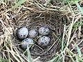 Alauda arvensis nest in İzmir, Turkey.jpg