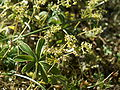 Alchemilla alpina07.jpg