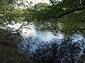 Alder branch on the Dart - geograph.org.uk - 1008178.jpg
