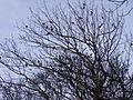 Alexandrine Parakeets, Ramsgate - Ellington park 3.jpg