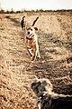 All 3 puppies - 6656577953.jpg