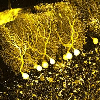 Purkinje cell - Confocal microscope image of cerebellar Purkinje cells expressing tdTomato