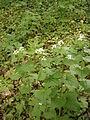 Alliaria petiolata RHu01.JPG